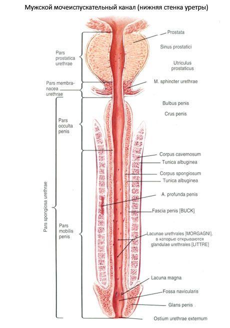 Czy rozciąganie penisa działa? Jakie są domowe metody?
